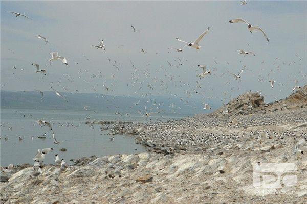 青海湖鸟岛蛋岛